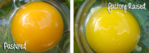 Pastured Egg VS Factory Egg